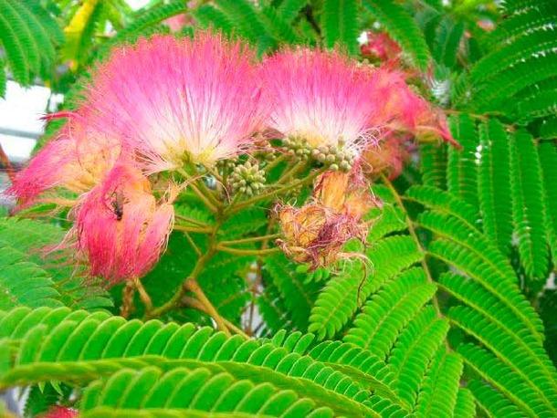 Albizia julibrissin 39 boubri 39 fleur for Taille d un albizia