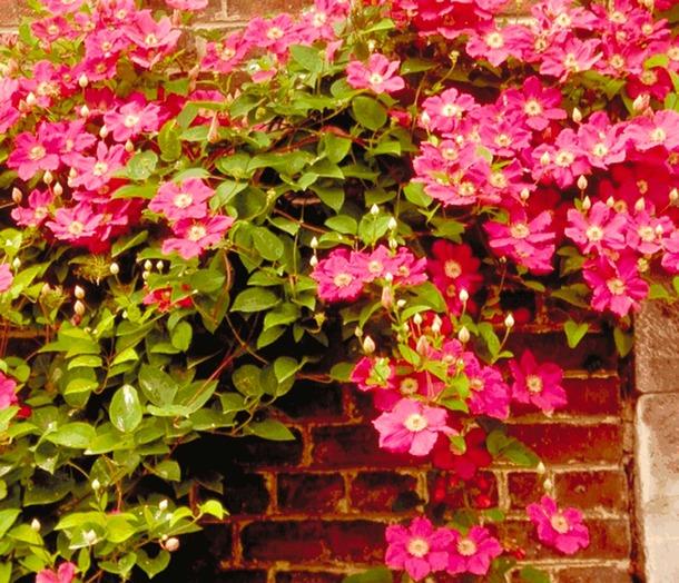 Clematis 39 ville de lyon 39 fleur for Cash piscine lyon
