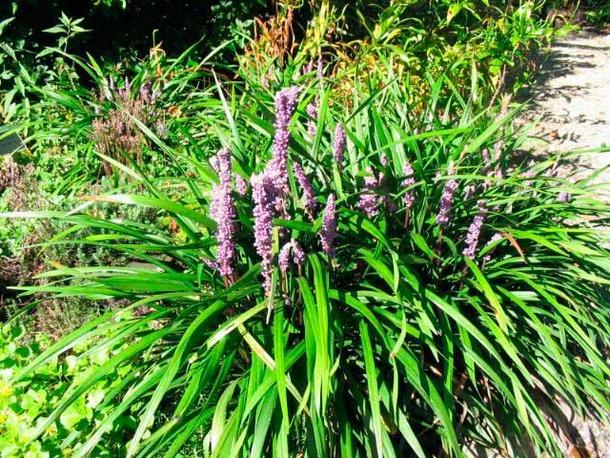 Liriope Muscari Ingwersen Fleur