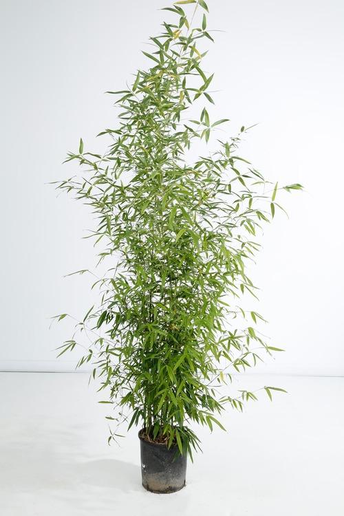 Phyllostachys Aurea - Fleur