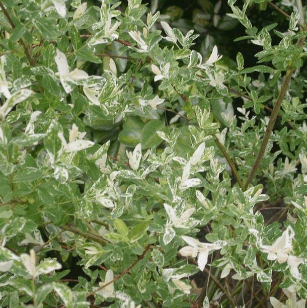 Salix integra 39 hakuro nishiki 39 fleur - Salix hakuro nishiki taille ...
