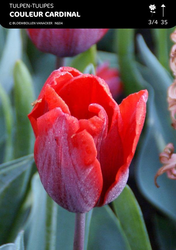 Tulipa Couleur Cardinal Fleur